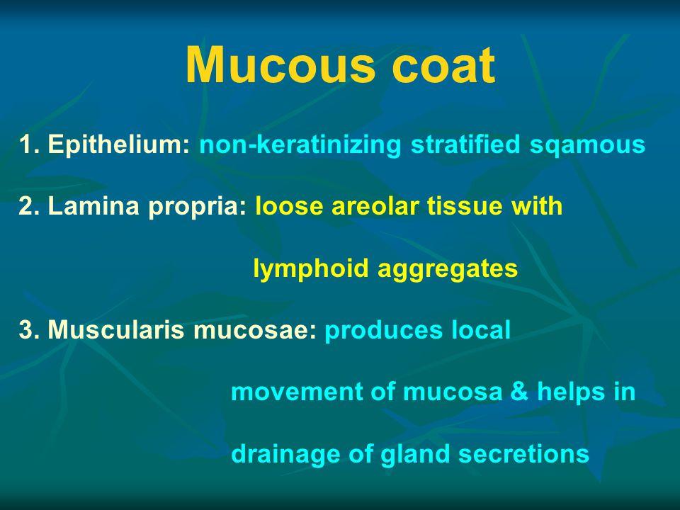 Mucous coat 1. Epithelium: non-keratinizing stratified sqamous