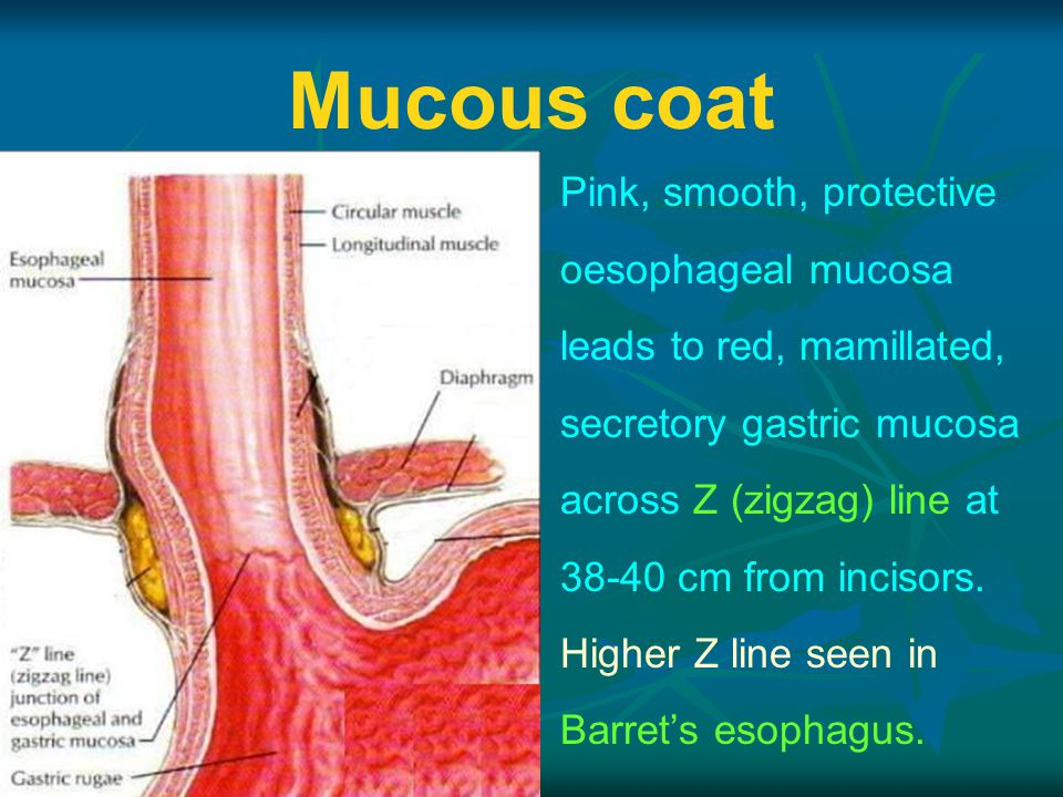 Mucous coat Pink, smooth, protective oesophageal mucosa