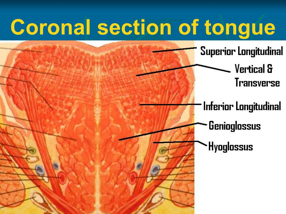Coronal section of tongue