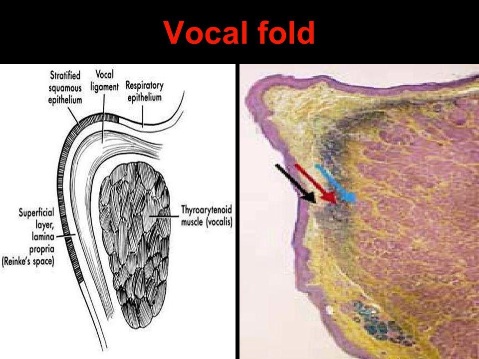 Vocal fold