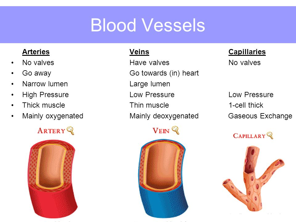 Blood Vessels Arteries Veins Capillaries