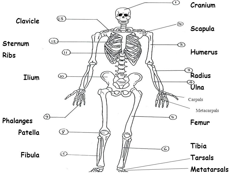 Cranium Scapula Clavicle Humerus Sternum Ribs Radius Ulna Ilium Femur