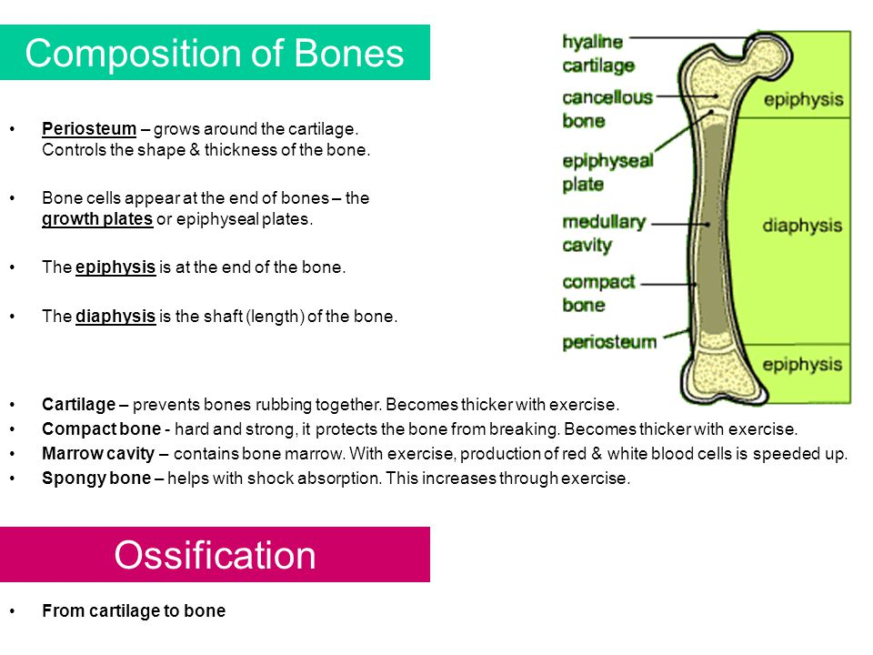Composition of Bones Ossification