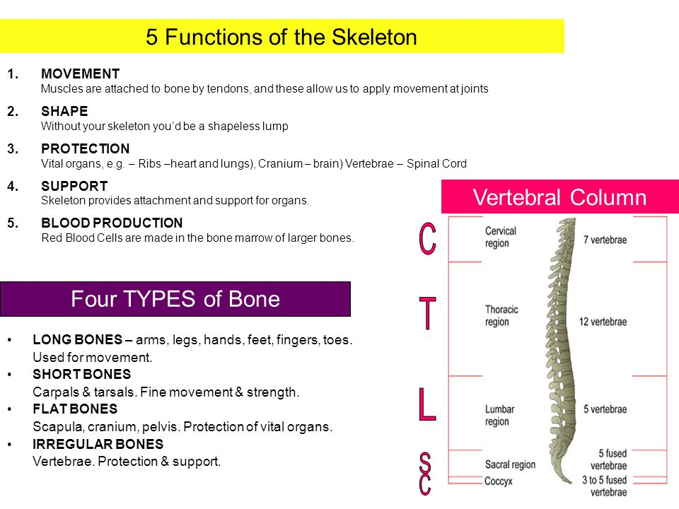 5 Functions of the Skeleton