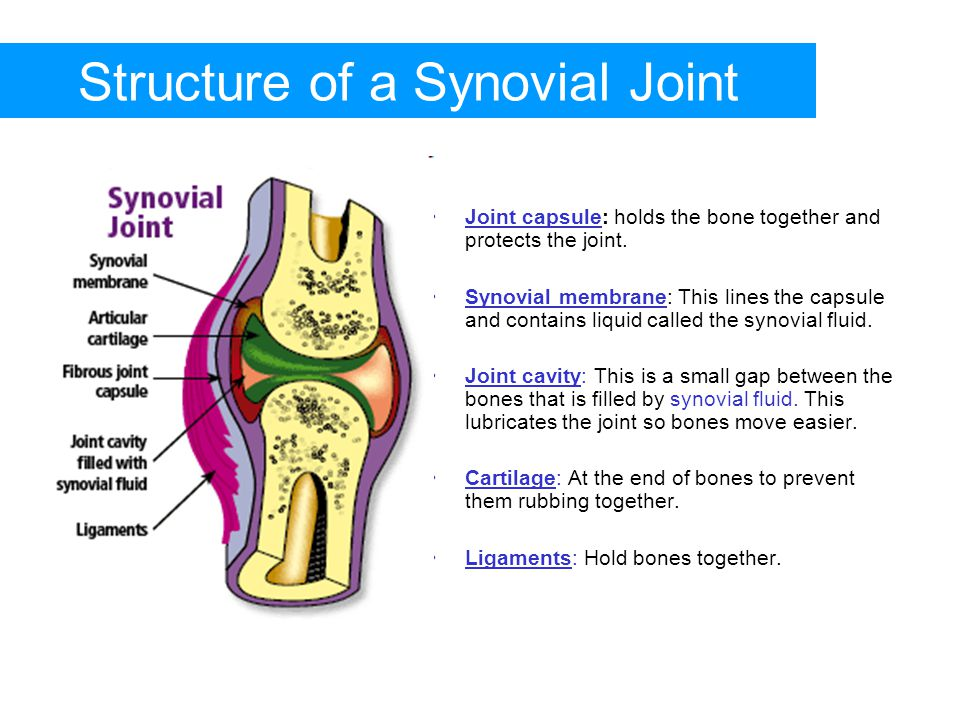 Structure of a Synovial Joint