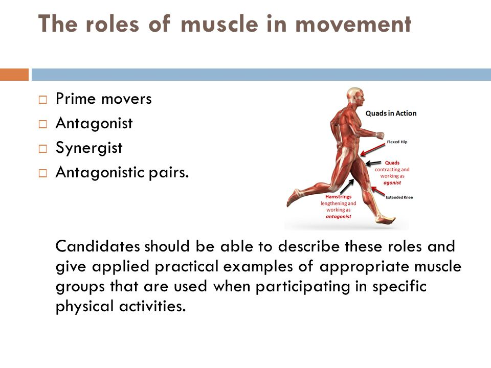 The roles of muscle in movement