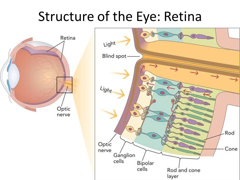 Structure of the Eye: Retina