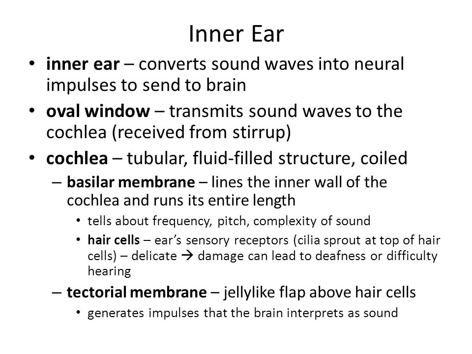 Inner Ear inner ear – converts sound waves into neural impulses to send to brain.
