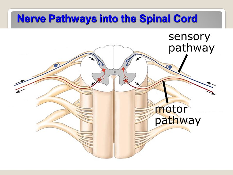 Nerve Pathways into the Spinal Cord