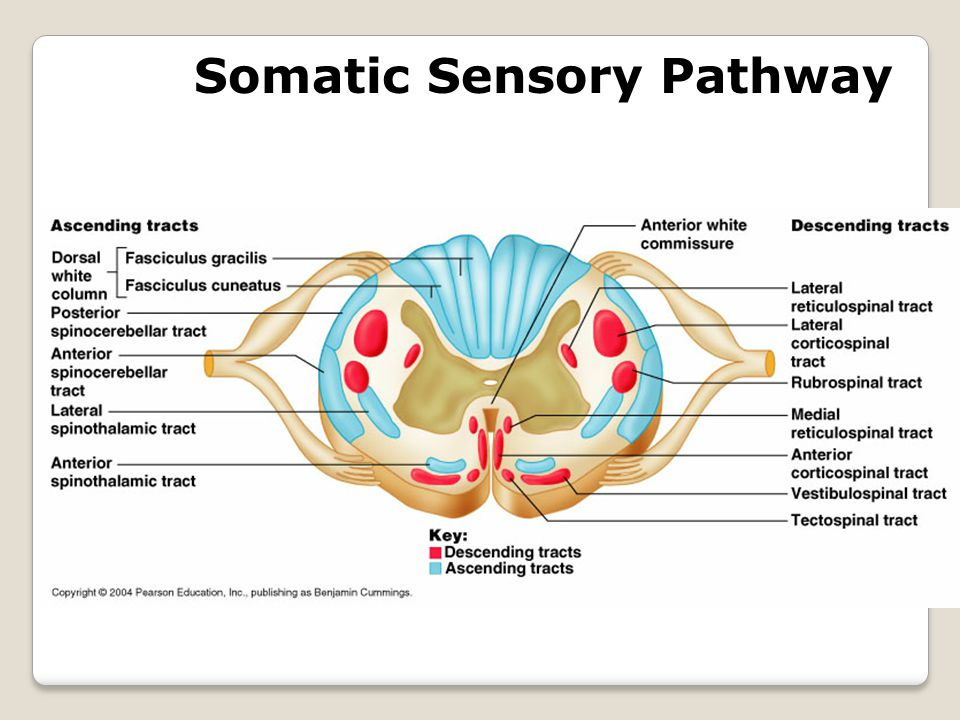 Somatic Sensory Pathway