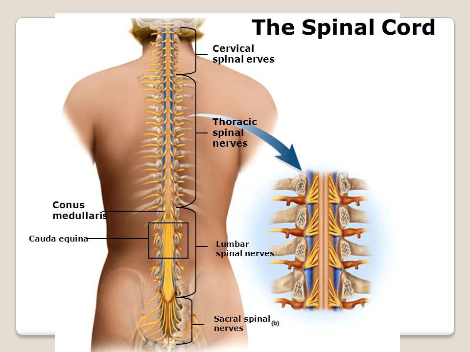 The Spinal Cord Cervical spinal erves Thoracic spinal nerves