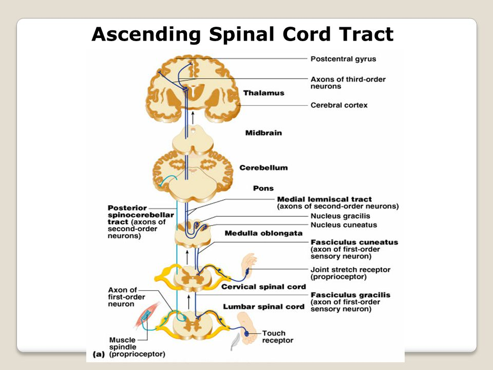 Ascending Spinal Cord Tract