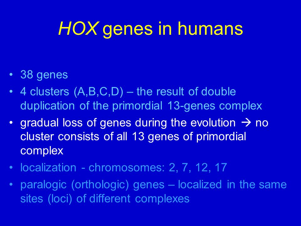 HOX genes in humans 38 genes