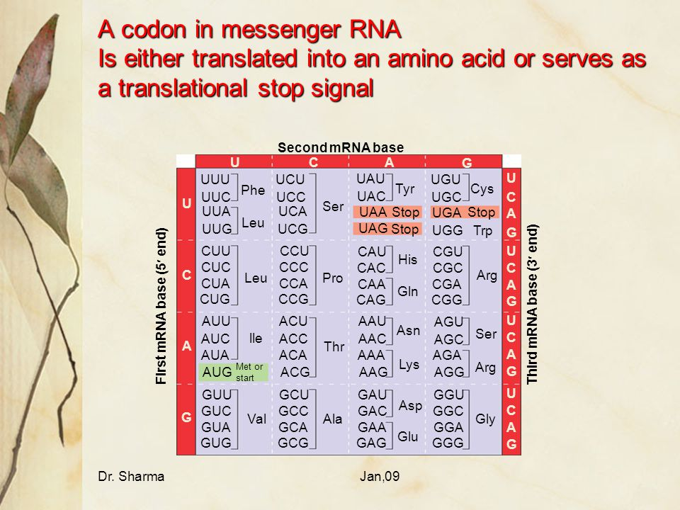 A codon in messenger RNA Is either translated into an amino acid or serves as a translational stop signal