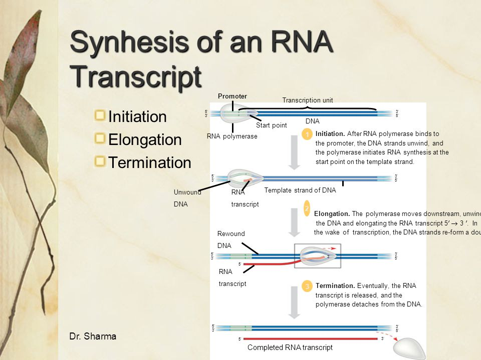 Synhesis of an RNA Transcript