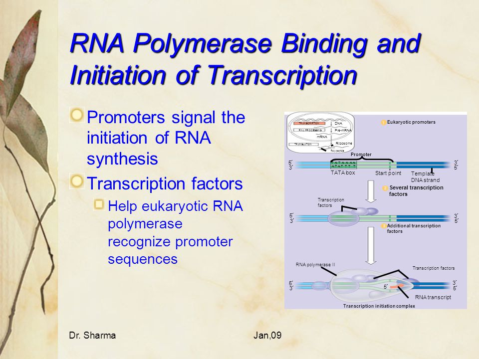 RNA Polymerase Binding and Initiation of Transcription