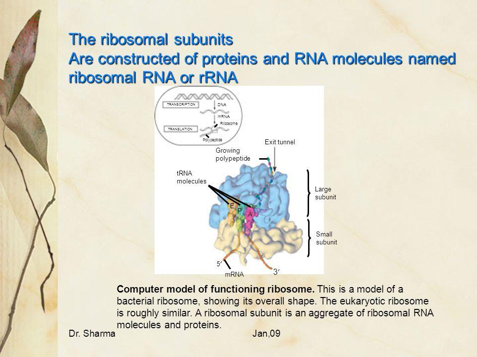 The ribosomal subunits Are constructed of proteins and RNA molecules named ribosomal RNA or rRNA