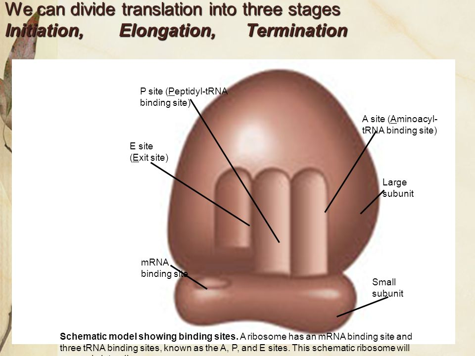 We can divide translation into three stages Initiation, Elongation, Termination