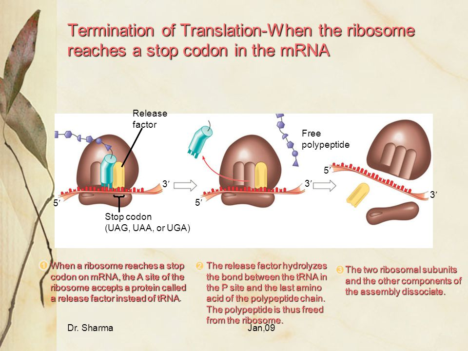 Termination of Translation-When the ribosome reaches a stop codon in the mRNA