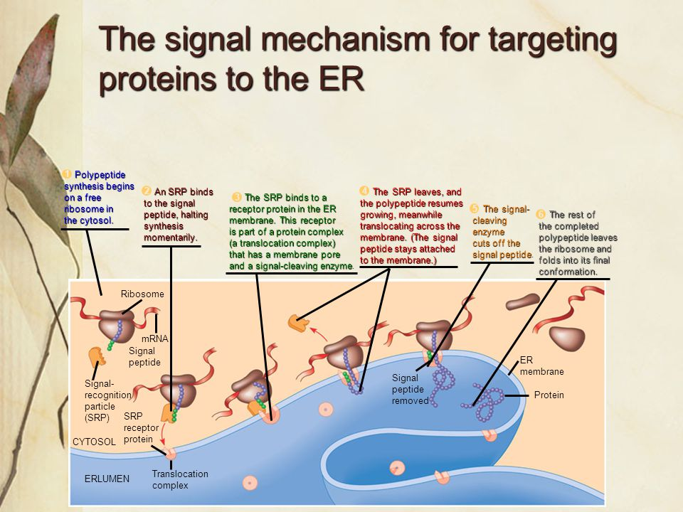 The signal mechanism for targeting proteins to the ER