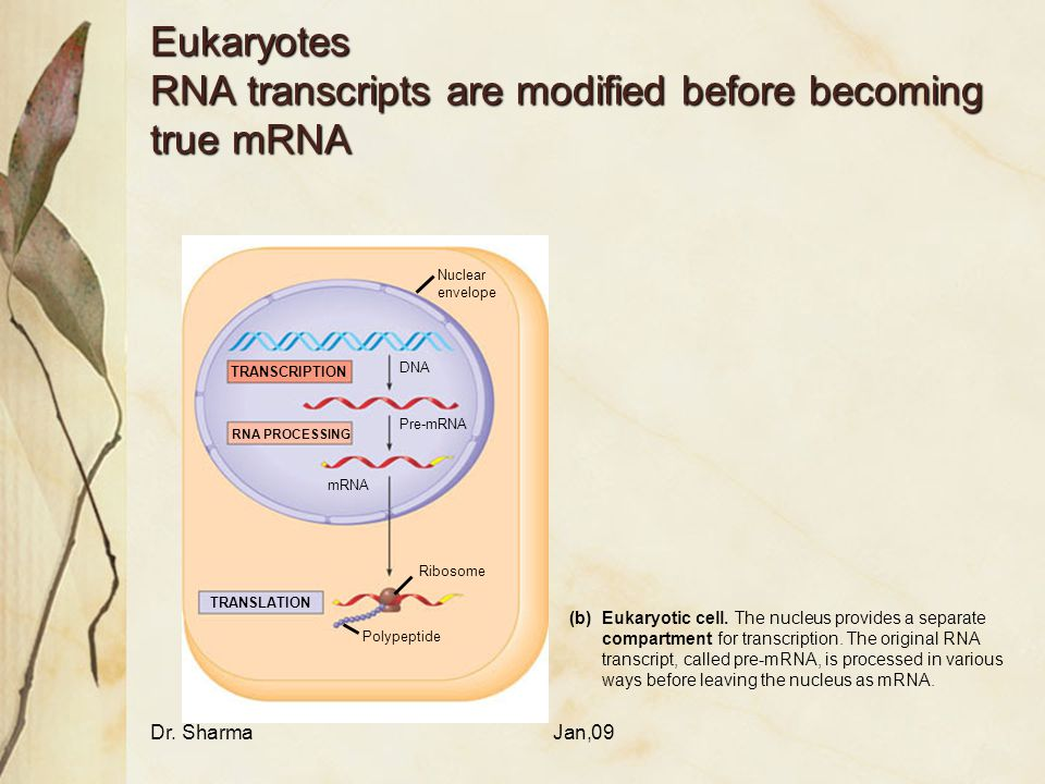 Eukaryotes RNA transcripts are modified before becoming true mRNA