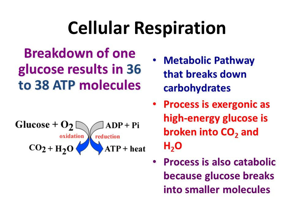 Breakdown of one glucose results in 36 to 38 ATP molecules