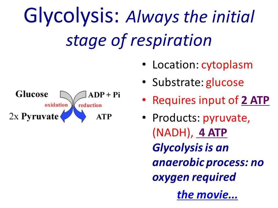 Glycolysis: Always the initial stage of respiration