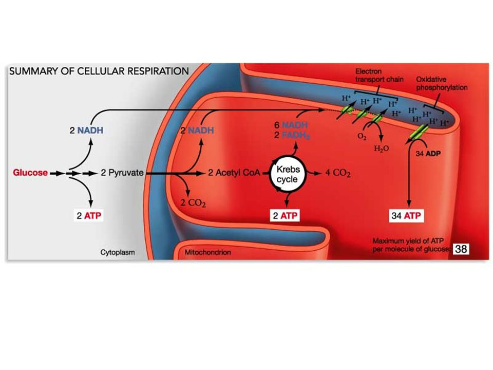 Aerobic respiration: the most efficient pathway for ATP generation