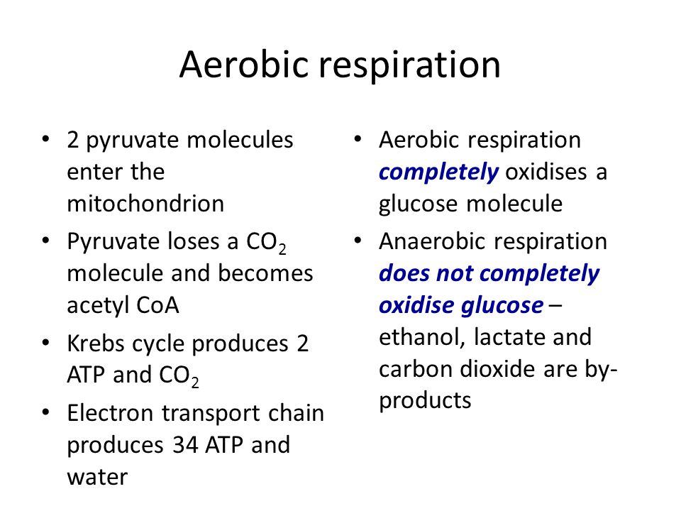 Aerobic respiration 2 pyruvate molecules enter the mitochondrion