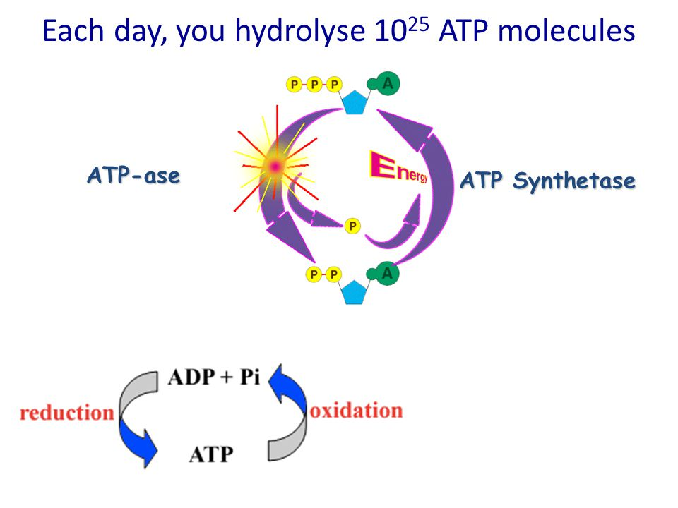 Each day, you hydrolyse 1025 ATP molecules