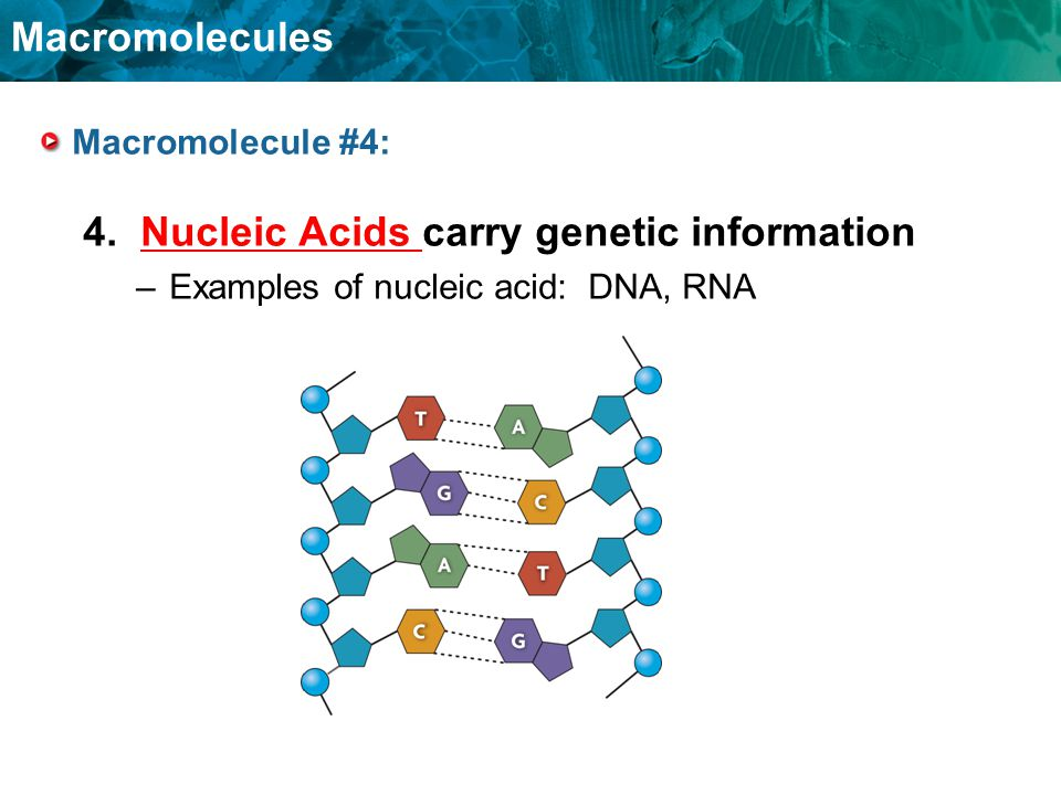 4. Nucleic Acids carry genetic information