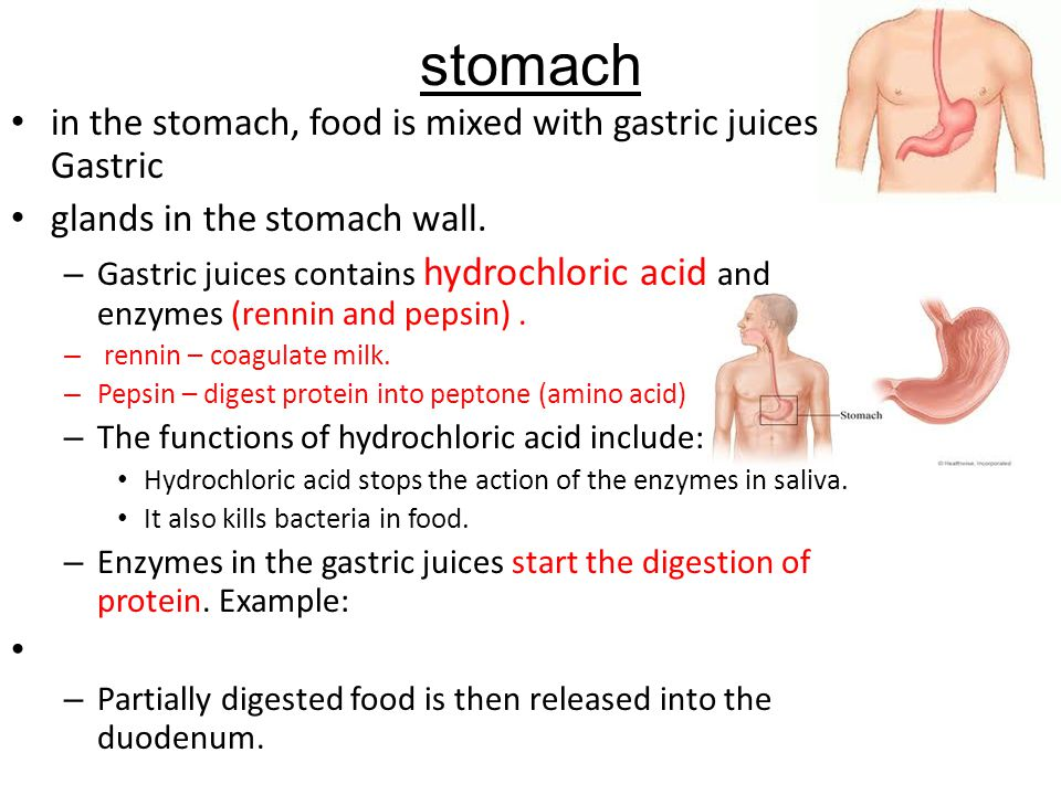 stomach in the stomach, food is mixed with gastric juices. Gastric