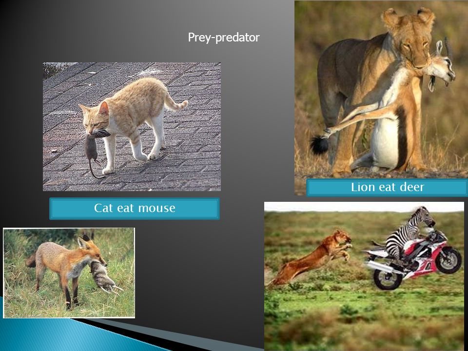 Prey-predator Lion eat deer Cat eat mouse