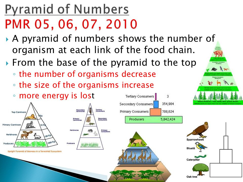 Pyramid of Numbers PMR 05, 06, 07, 2010 A pyramid of numbers shows the number of organism at each link of the food chain.