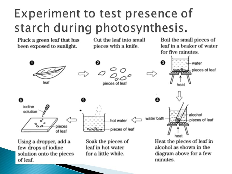 Experiment to test presence of starch during photosynthesis.