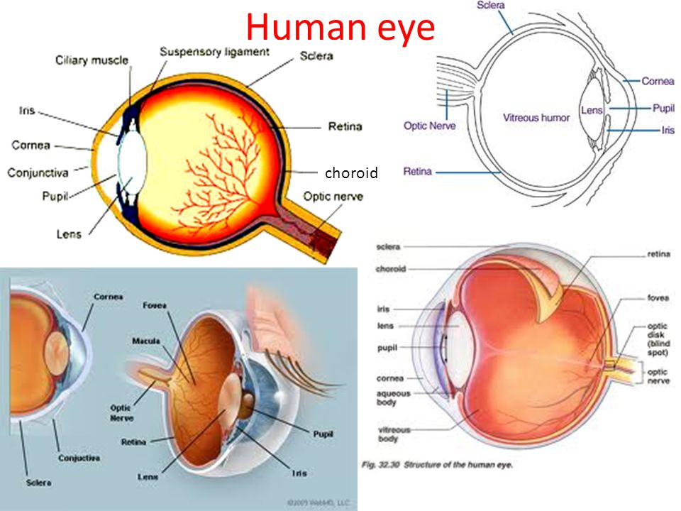 Human eye choroid