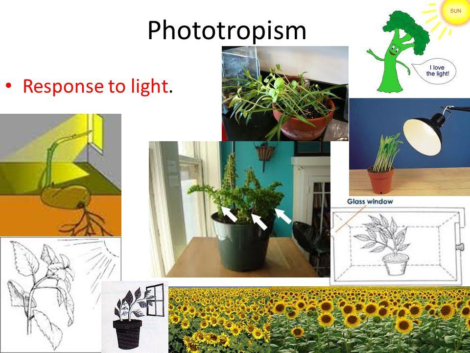Phototropism Response to light.