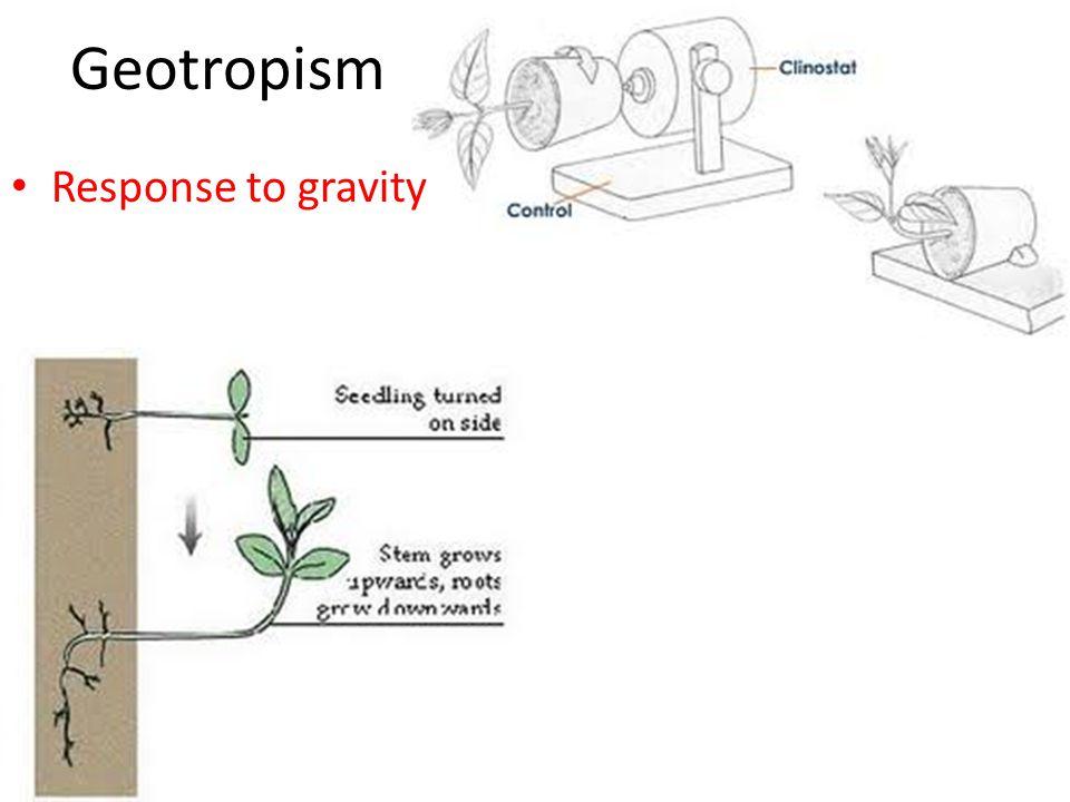 Geotropism Response to gravity