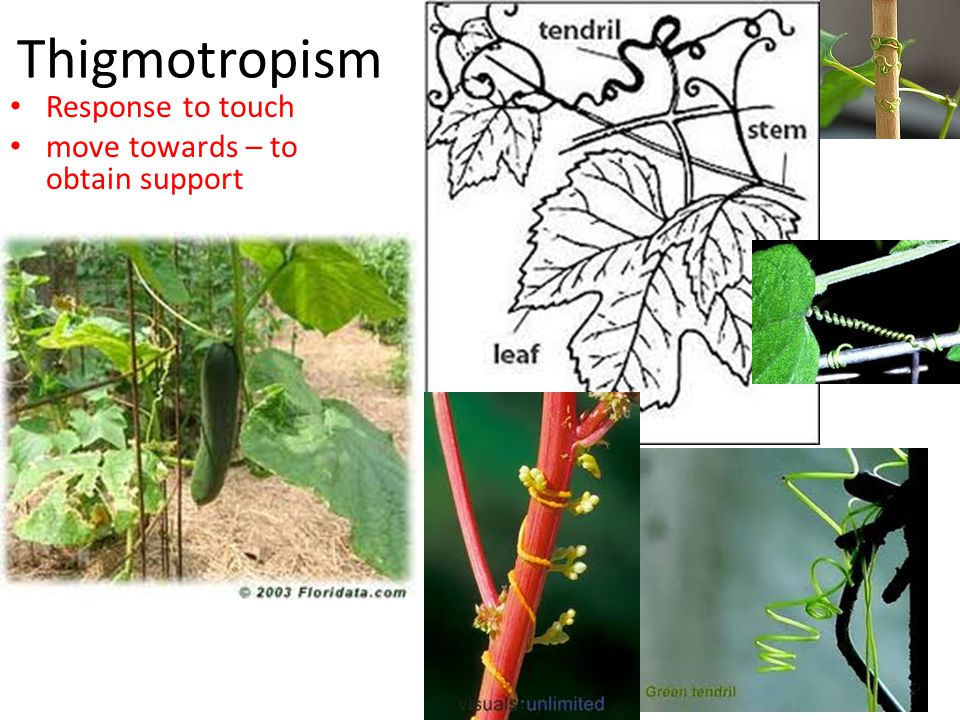 Thigmotropism Response to touch move towards – to obtain support