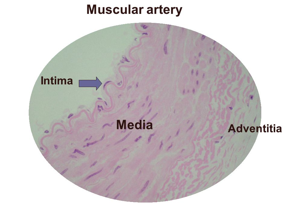 Muscular artery Intima Media Adventitia