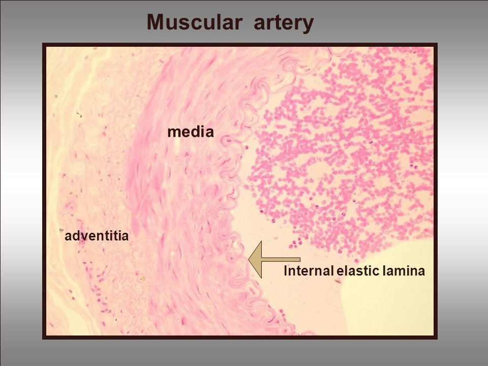 Muscular artery media adventitia Internal elastic lamina
