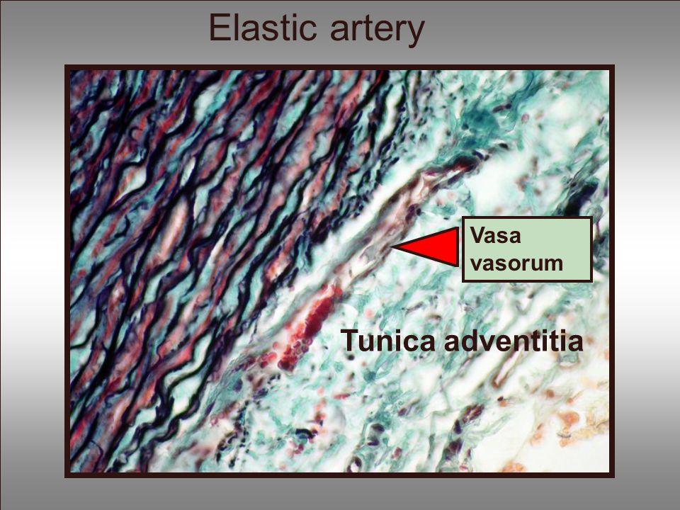 Elastic artery Vasa vasorum Tunica adventitia