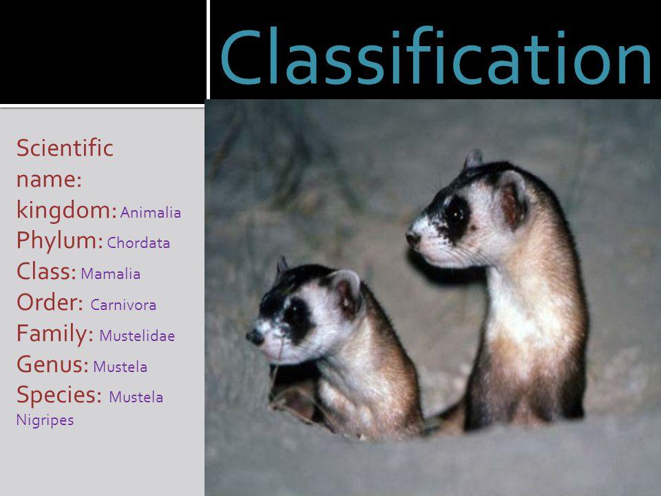 Classification Scientific name: kingdom: Animalia Phylum: Chordata