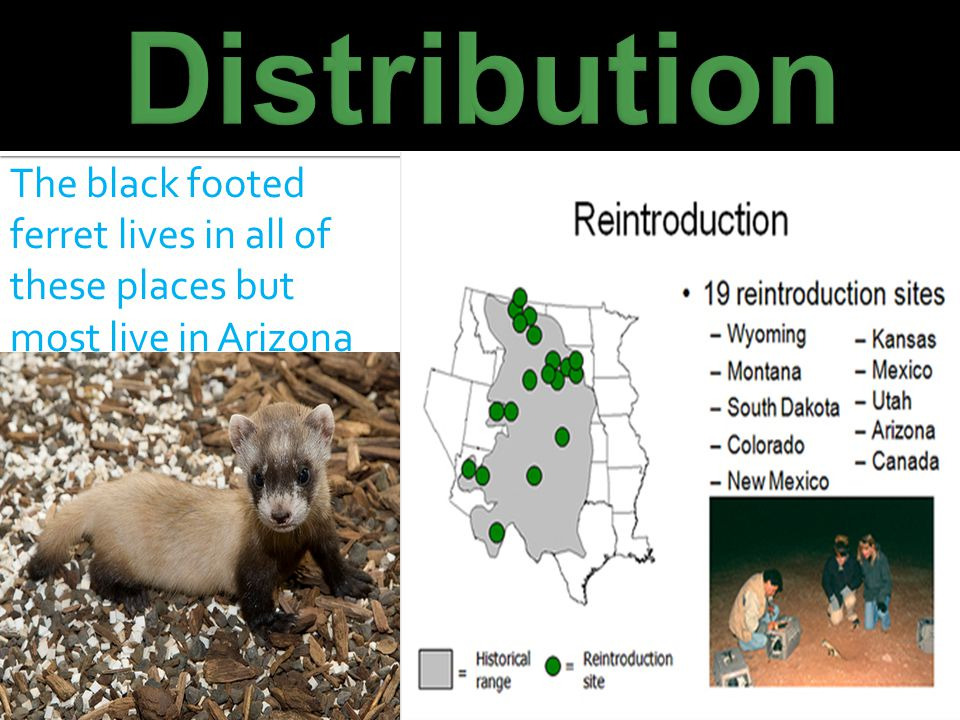 Distribution The black footed ferret lives in all of these places but most live in Arizona