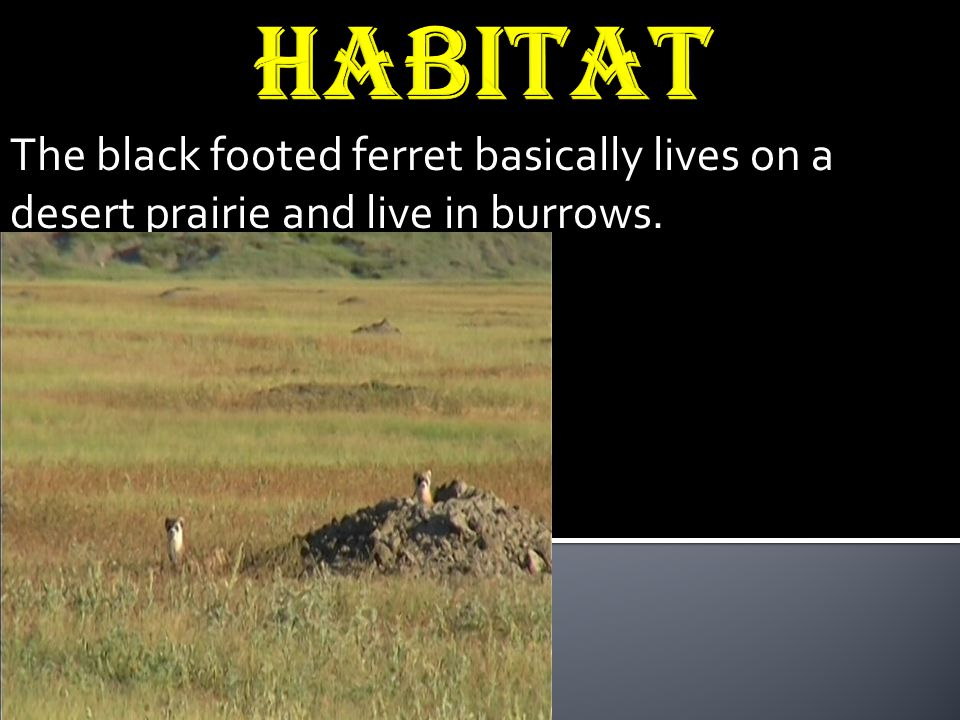 Habitat The black footed ferret basically lives on a desert prairie and live in burrows.
