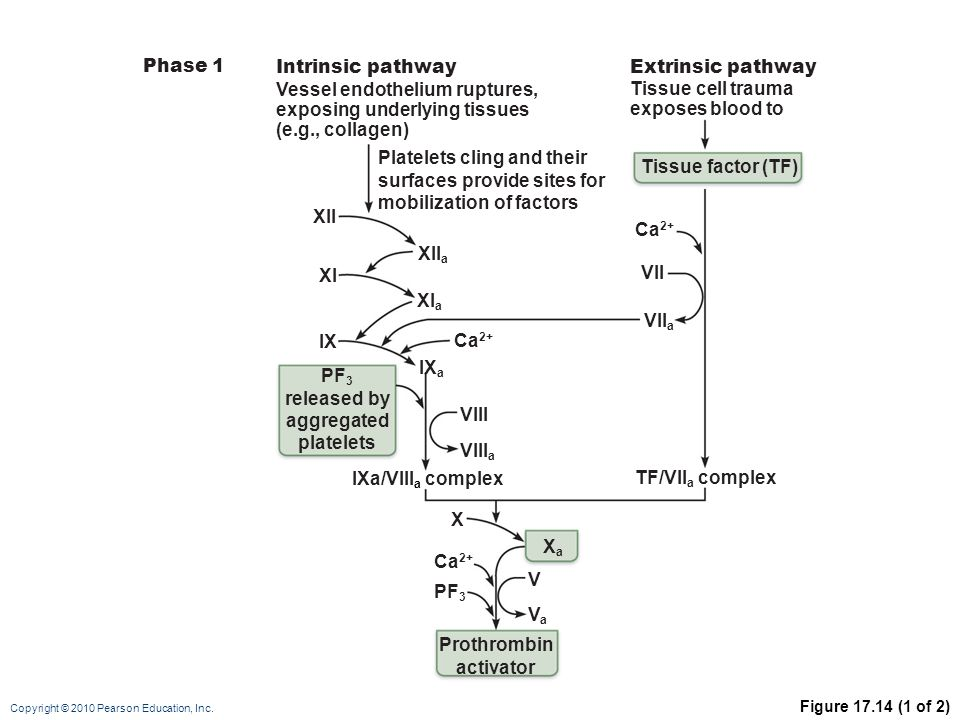 PF3 released by aggregated platelets Prothrombin activator