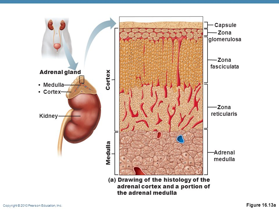 Zona glomerulosa Zona fasciculata Zona reticularis Adrenal medulla
