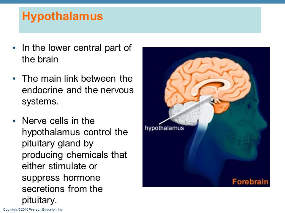 Hypothalamus In the lower central part of the brain
