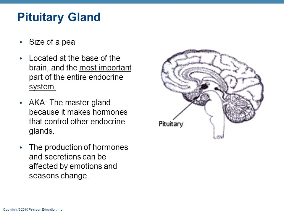 Pituitary Gland Size of a pea