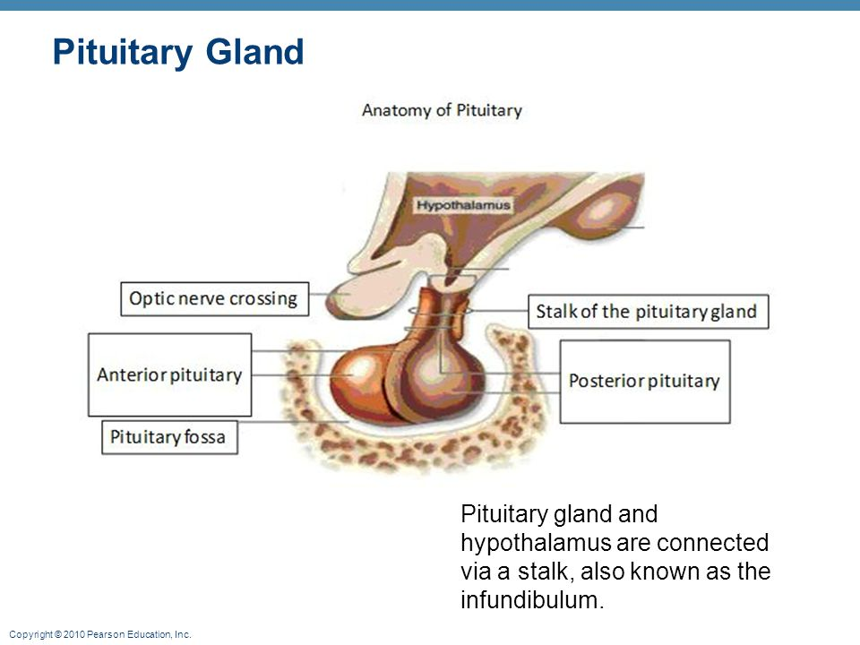 Pituitary Gland Pituitary gland and hypothalamus are connected via a stalk, also known as the infundibulum.
